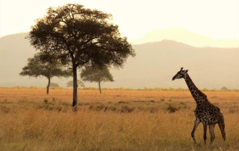 Stick Your Neck Out for Giraffes
