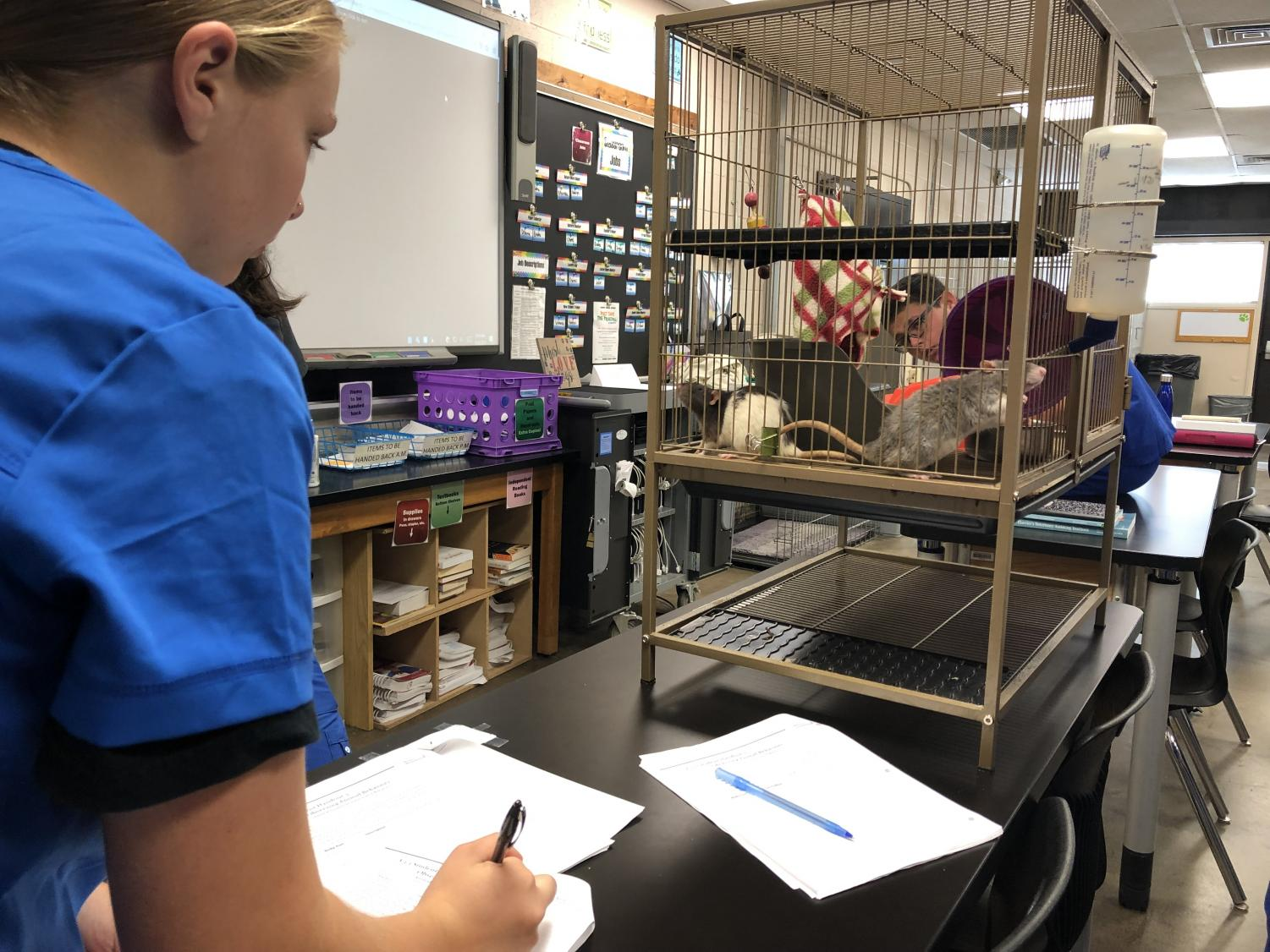 Students will the BOCES Animal Science program get up close and personal with all kinds of animals in order to better understand their care and development. For those interested in veterinary science, grooming, rescues, this is the program for you.
