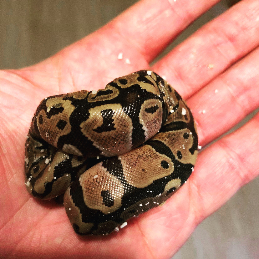 A+harmless+baby+ball+python+minding+his+business.