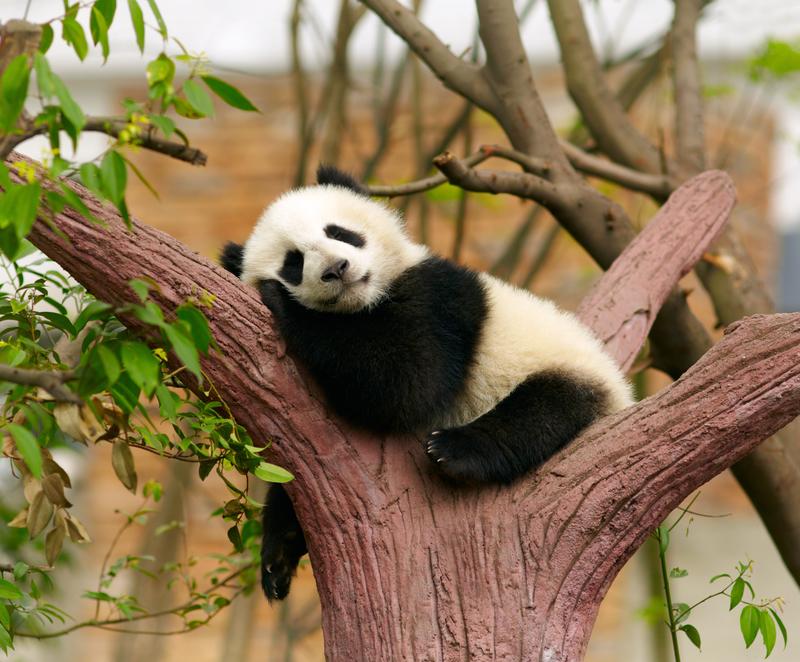 #OTD: National Panda Day