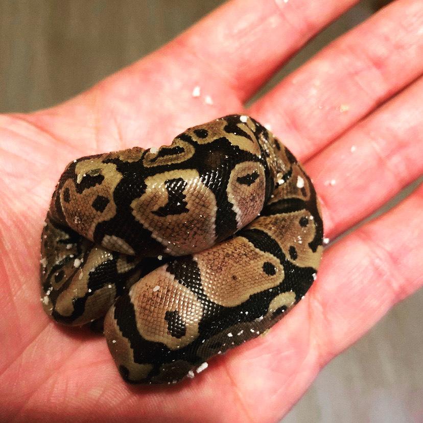 A harmless baby ball python minding his business.